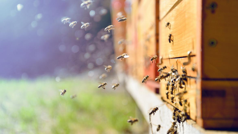 Jak stosować naturalną pierzgę pszczelą?